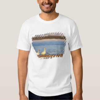snow geese, Chen caerulescens, pair on a Shirts