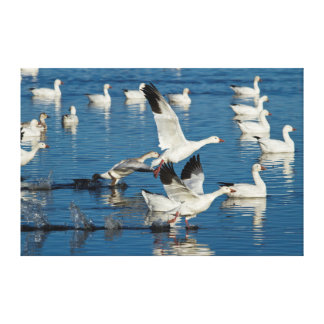Snow Geese (Chen Caerulescens) Taking Off Canvas Print