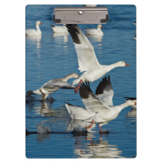 Snow Geese (Chen Caerulescens) Taking Off Clipboards