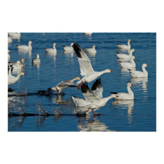 Snow Geese (Chen Caerulescens) Taking Off Poster