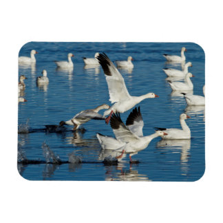 Snow Geese (Chen Caerulescens) Taking Off Rectangular Photo Magnet