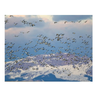Snow geese during spring migration 2 postcard