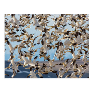 Snow Geese Fill The Sky After Feeding In Barley Postcard