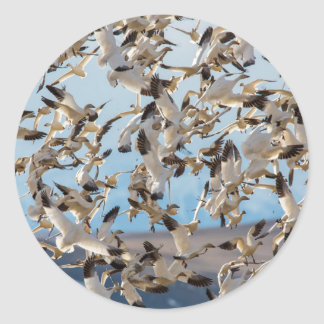 Snow Geese Fill The Sky After Feeding In Barley Round Sticker