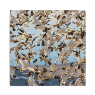 Snow Geese Fill The Sky After Feeding In Barley Wood Coaster