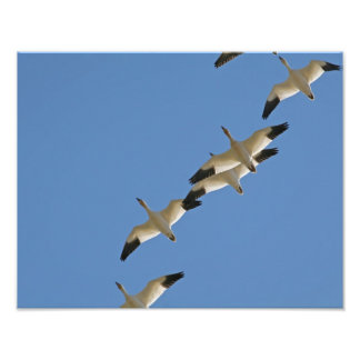 Snow Geese Flying South for the Winter Art Photo