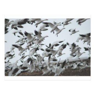 Snow Geese Migration Postcard