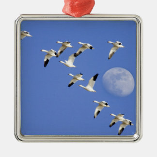Snow geese take flight at Freezeout Lake NWR Silver-Colored Square Decoration