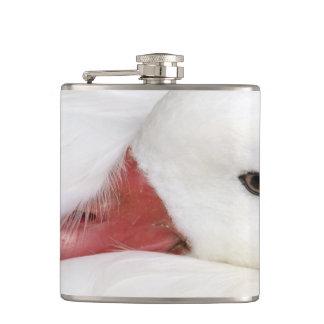 Snow Goose Chen caerulescens), captive in Flasks