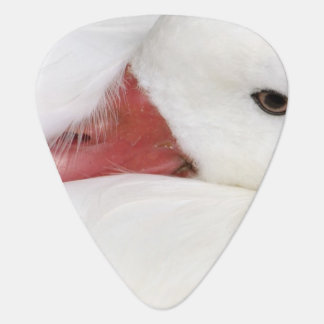 Snow Goose Chen caerulescens), captive in Guitar Pick