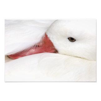 Snow Goose Chen caerulescens), captive in Photo Print