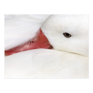 Snow Goose Chen caerulescens captive in Postcards