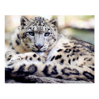 Snow Leopard beautiful photo Postcard