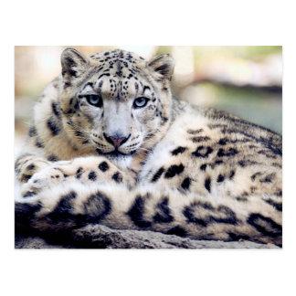Snow Leopard beautiful photo Postcard