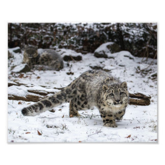 Snow Leopard Cub Art Photo