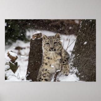 Snow Leopard Cub Poster