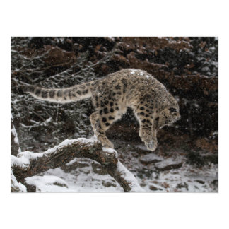 Snow Leopard Cub Pounce Photograph