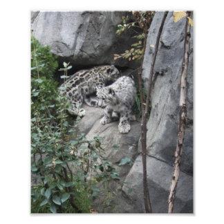 Snow Leopard Cubs on a Ledge Art Photo