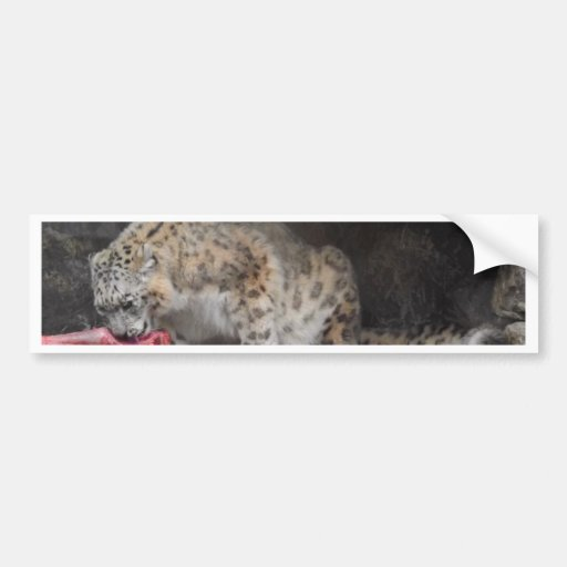 Snow Leopard Eating His Meat Colorful Photo Bumper Sticker