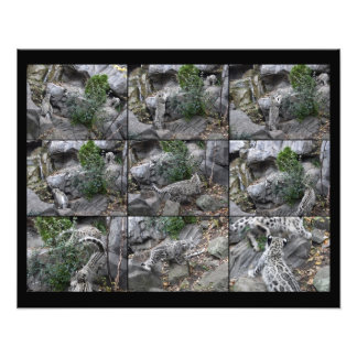 Snow Leopard Hunting Lessons collage Photo