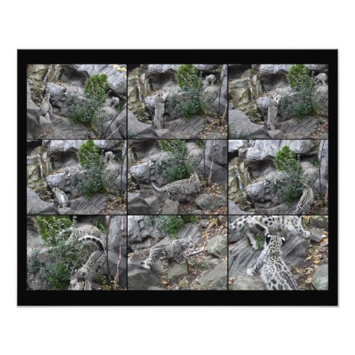 Snow Leopard Hunting Lessons collage Photo Art