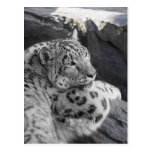 Snow Leopard Icy Stare