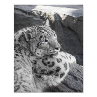 Snow Leopard Icy Stare Photo Print