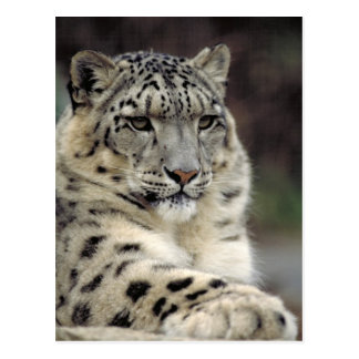 Snow Leopard Info Card Post Cards