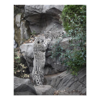 Snow Leopard Mother and Cub Photographic Print