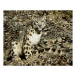 Snow Leopard on the Cliff Posters
