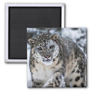 Snow Leopard on the Prowl Square Magnet