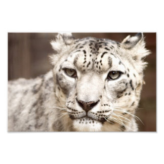 Snow Leopard Photo Art