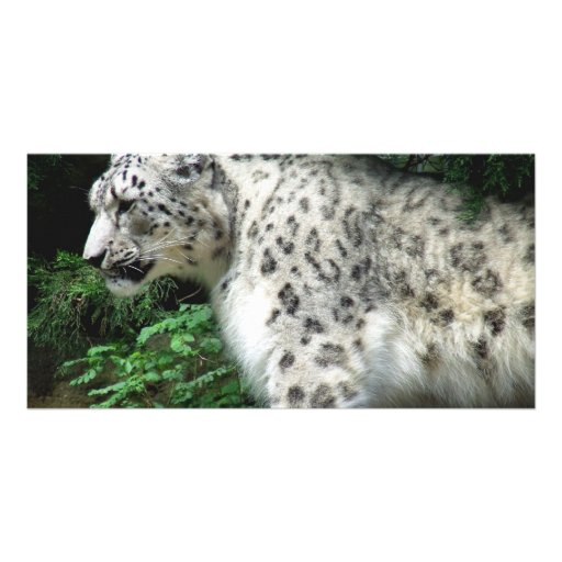 Snow Leopard Photo Greeting Card