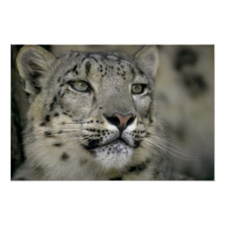 Snow Leopard Posters