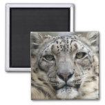 Snow Leopard Square Magnet Magnet