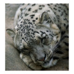 Snow Leopard - Sweet Dreams Poster