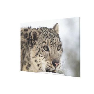 Snow leopard (Uncia uncia) Canvas Print