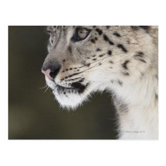 Snow leopard (Uncia uncia) Postcard