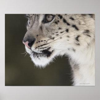 Snow leopard (Uncia uncia) Poster