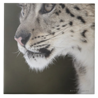 Snow leopard (Uncia uncia) Tile