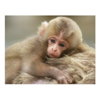 Snow Monkey Baby, Jigokudani, Nagano, Japan 2 Postcard