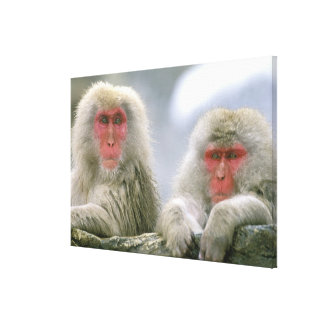 Snow Monkey Couple, Japanese Macaque, Stretched Canvas Print