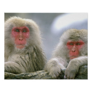Snow Monkey Couple, Japanese Macaque, Poster