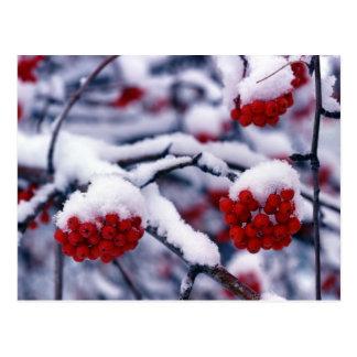 Snow on European Mountain Ash Berries, Utah. Postcard