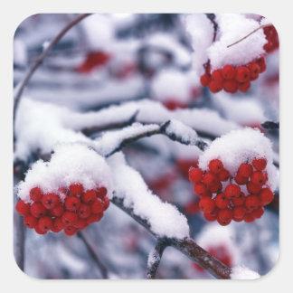 Snow on European Mountain Ash Berries, Utah. Square Sticker