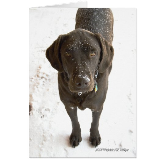 Snow Sprinkled Chocolate Labrador Photograph Card