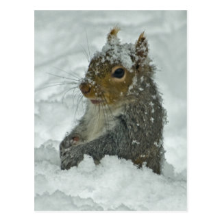 Snow Squirrel Postcard