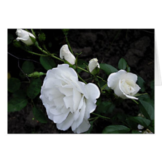 Snow White Rose Greeting Card