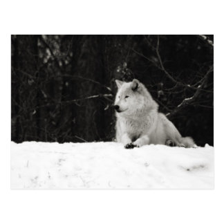 Snow Wolf Postcard