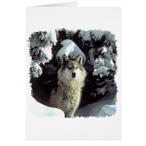 Snow Wolf  Wolves